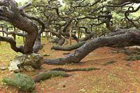 「久米の五枝の松」の枝の様子
