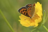 ベニシジミ蝶と黄色い花