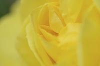 黄色のバラのクローズアップ