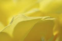 黄色いバラの花びら