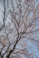 有栖川宮旧邸の桜
