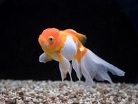 金魚 オランダシシガシラ