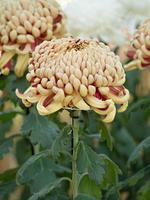 菊の花 巴錦