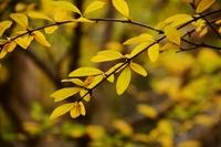 ザクロの黄葉