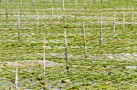 アーサの養殖場