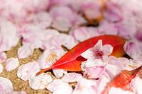 桜 春のイメージ 地面に落ちたたくさんの桜