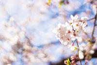 満開の桜の花 春のイメージ