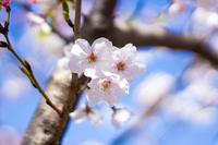 桜の花クローズアップ写真 春のイメージ