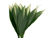 ハランの葉