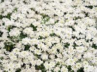 宿根イベリスの花苗