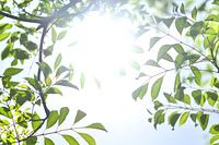 シマトネリコの葉っぱ