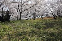 桜咲く七条大池畔