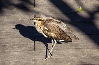キャンベルタウン野鳥の森 オーストラリアイシチドリ