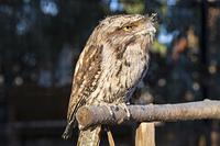 キャンベルタウン野鳥の森 オーストラリアガマグチヨタカ