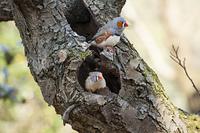キャンベルタウン野鳥の森 キンカチョウ