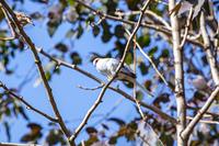 キャンベルタウン野鳥の森 ウスユキバト
