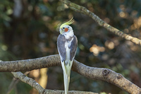 キャンベルタウン野鳥の森 オカメインコ