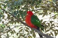 キャンベルタウン野鳥の森 キンショウジョウインコ