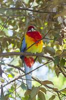 キャンベルタウン野鳥の森 ナナクサインコ