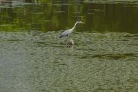 水元公園 アオサギ