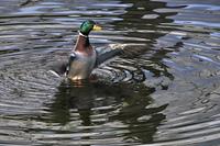松本城の鴨