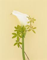 白いカラーとあけびの蔓
