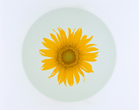 皿に乗った向日葵