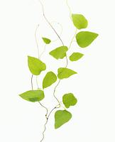 蔓科の植物
