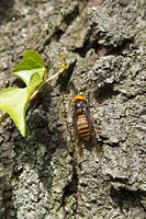 樹液を吸うクマバチ