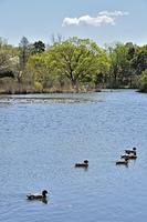 見沼自然公園・修景池