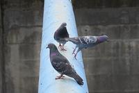川の横断土管の上の鳩たち