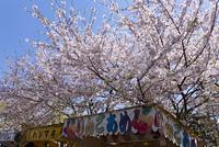 満開の桜と屋台