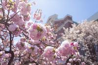 造幣局と通り抜けの桜