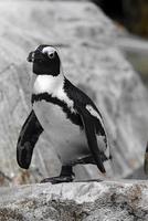 片足立ちのケープペンギン