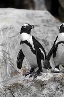 岩に立つケープペンギン