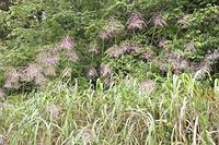 草原の中のススキ