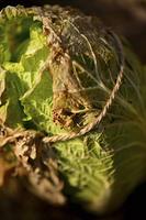 冬を越した白菜
