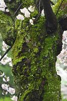 苔むした桜の幹