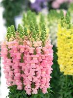 キンギョソウの切り花