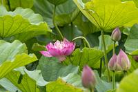 湘南鵠沼蓮池のピンク色のハスにアブ