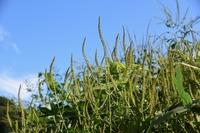 ブタクサ(豚草)/ 秋の花粉症の原因植物