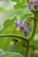 ツノナス(角茄子)の花