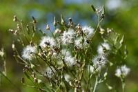 アキノノゲシの綿毛とタネ