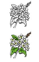 蕎麦の花のイラスト