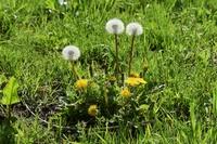 タンポポの花と綿毛