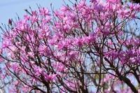 ミツバツツジ(三葉躑躅)の花