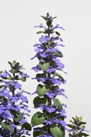 アジュガ(キランソウ・セイヨウジュウニヒトエ)の花