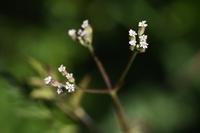 オヤブジラミ(雄藪虱)の花