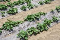 サツマイモ栽培