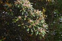 マテバシイの花